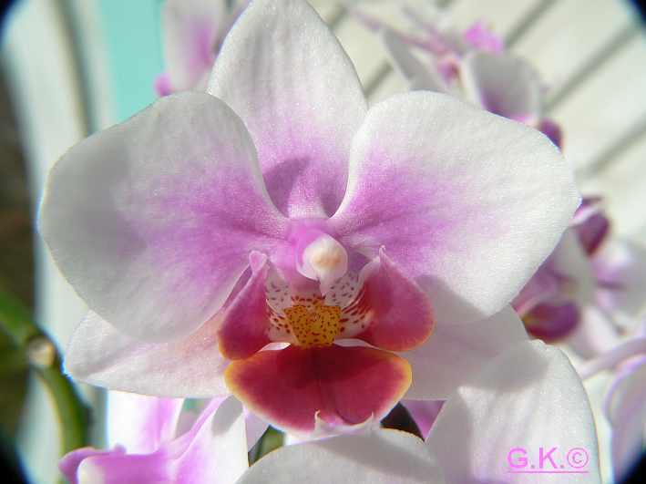 6 Orchideen, aber welche und wie pflege ich sie?? Orchid16