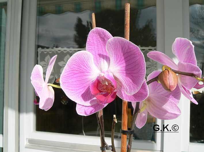6 Orchideen, aber welche und wie pflege ich sie?? Orchid17
