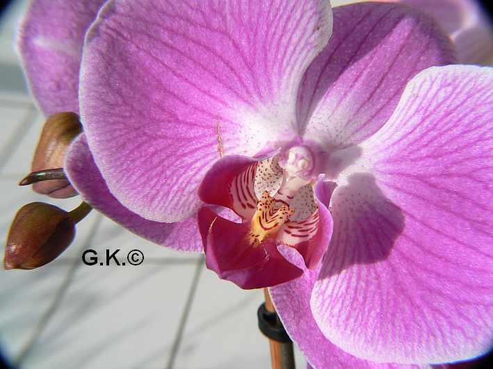 6 Orchideen, aber welche und wie pflege ich sie?? Orchid18