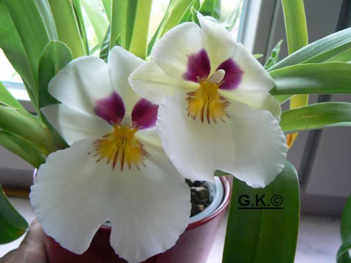 6 Orchideen, aber welche und wie pflege ich sie?? Orchid20