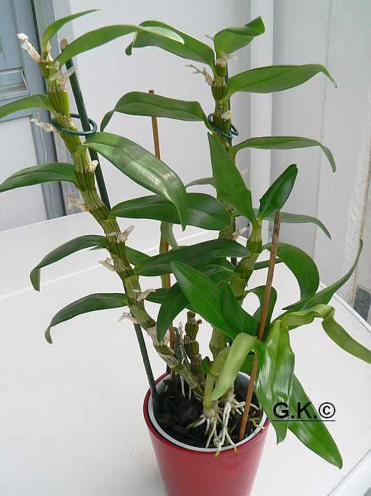 6 Orchideen, aber welche und wie pflege ich sie?? Orchid21