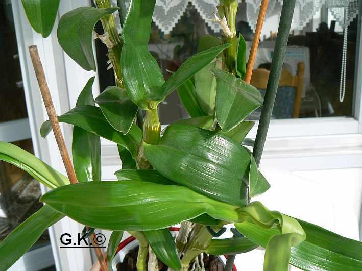 6 Orchideen, aber welche und wie pflege ich sie?? Orchid22