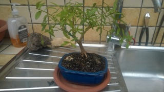 Esperimento Polygala myrtifolia Wp_20117