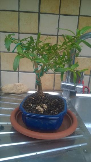 Esperimento Polygala myrtifolia Wp_20118
