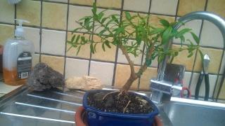 Esperimento Polygala myrtifolia Wp_20119