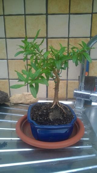 Esperimento Polygala myrtifolia Wp_20120