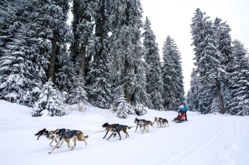 Chiens de traîneaux : le prologue de la Grande Odyssée Savoie Mont-Blanc à Samoëns La_gra10