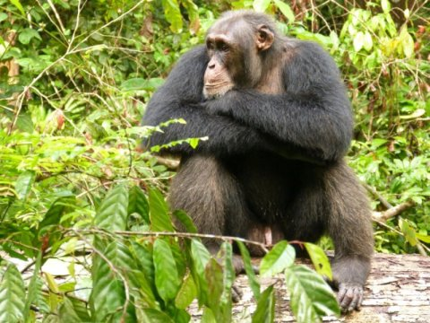 Male chimpanzees reduce aggression when social relationships in their group are unstable Eaa44810