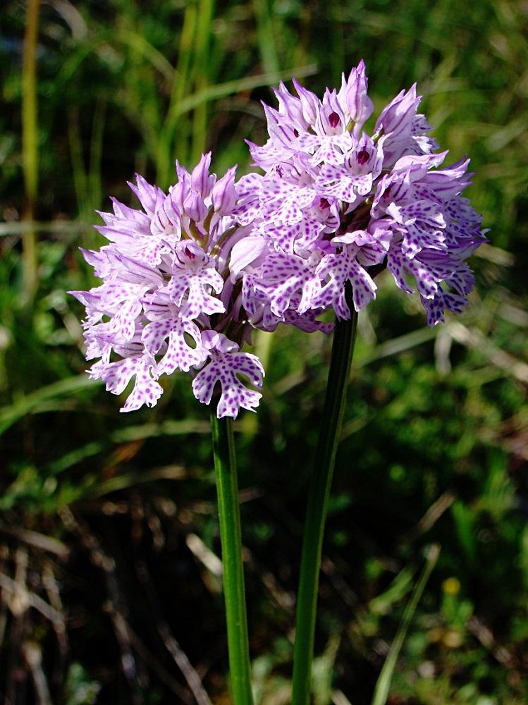 mes orchidées sauvages Dsc02910