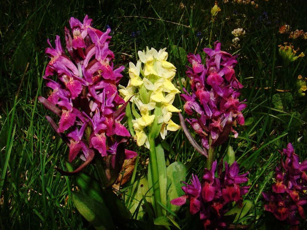 mes orchidées sauvages Dsc04710