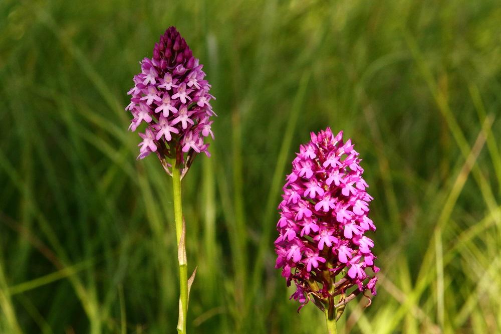 mes orchidées sauvages Orchis10