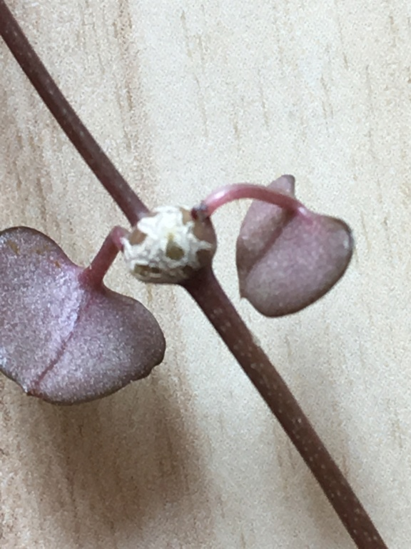 Ceropegia woodii 71a3c310