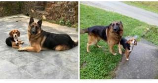 Beagle y pastor alemán perdidos 20180911