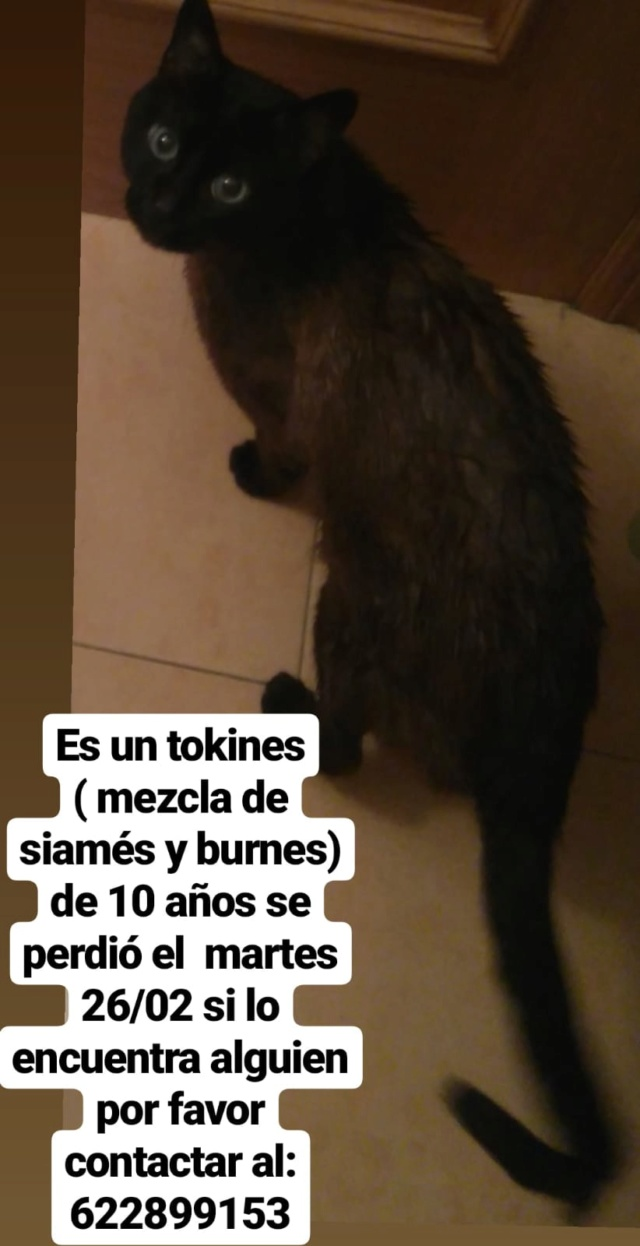 Gato tipo Siamés perdido Img-2028