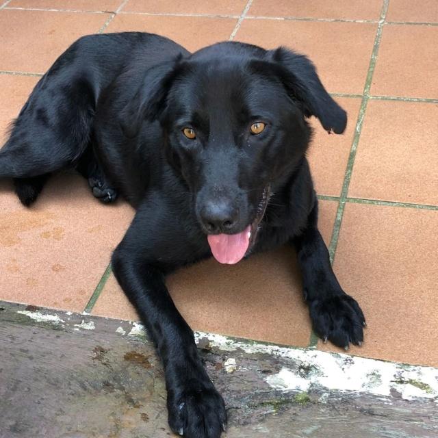 Labrador negro encontrado en La Zapateira Img_2020