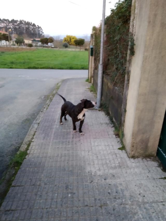 Perro encontrado en Vilar, Sada Img_2075