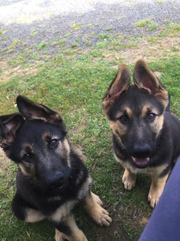 Perros Pastores Alemanes perdidos Aranga. Aparecieron Img_2132