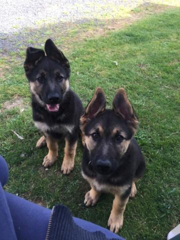 Perros Pastores Alemanes perdidos Aranga. Aparecieron Img_2133