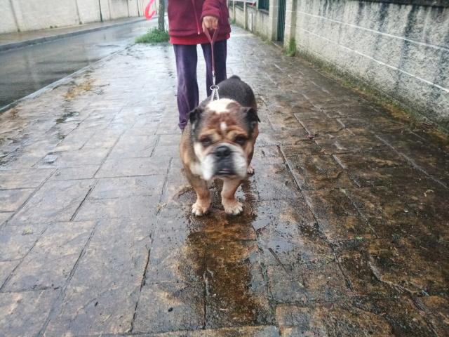 Bulldog encontrado zona de Meiras. Apareció la dueña P9021711