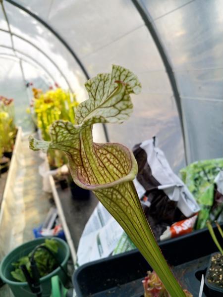 Mes Sarracenia en 2019 Img_2051