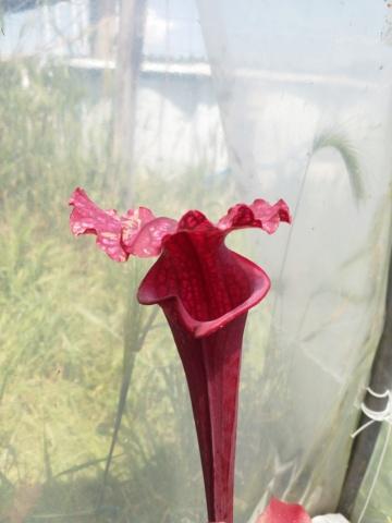 Quelques Sarracenia en plus Img_2132
