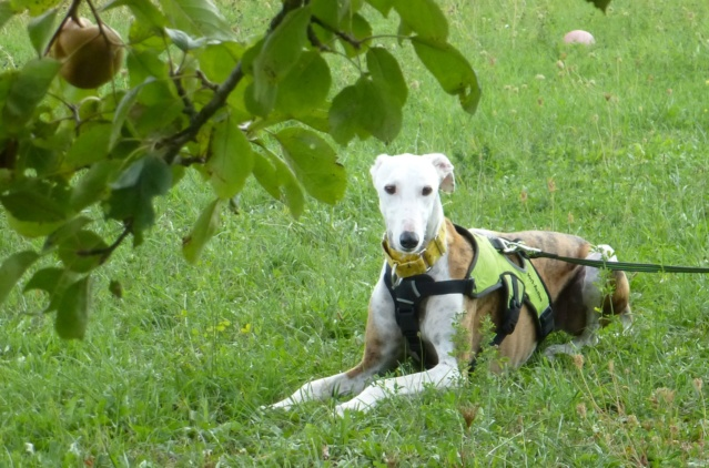 Buck galgo blanc et bringé de 4 ans Adopté  - Page 2 2018_013