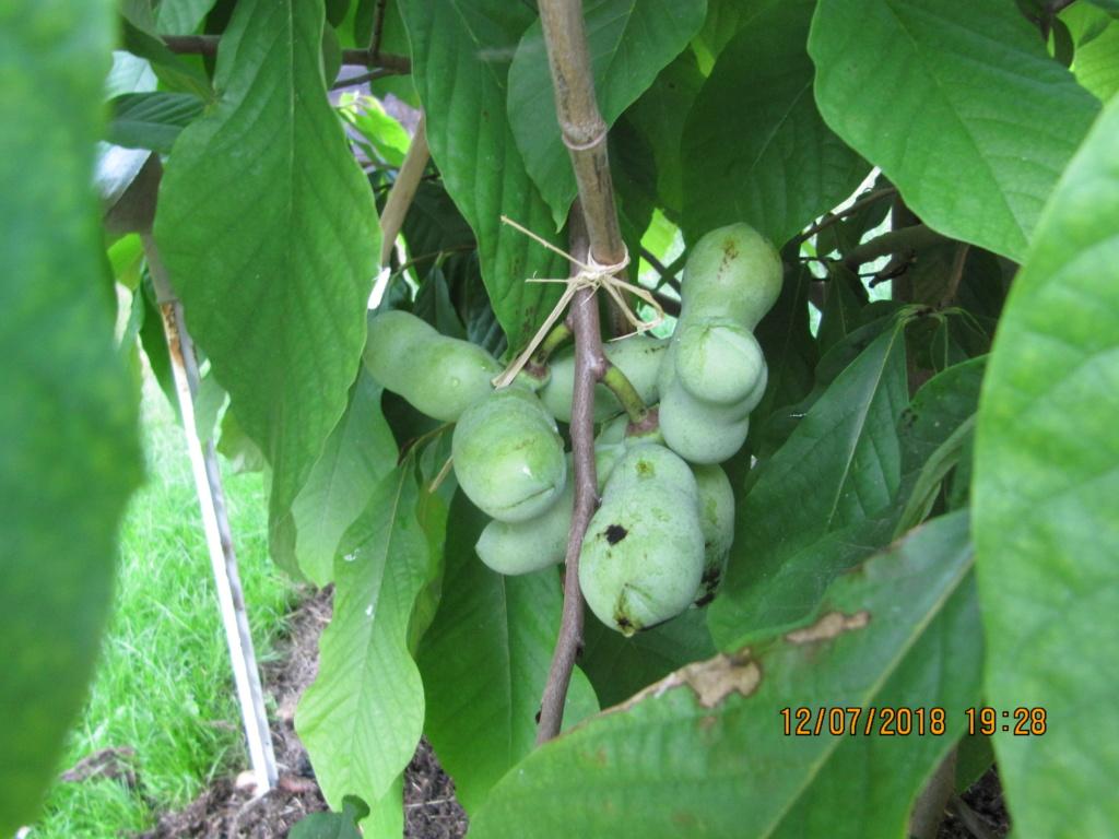 Exotisches Obst - Aussaat, Aufzucht, Vermehrung und Pflege - Seite 15 Paw_pa20