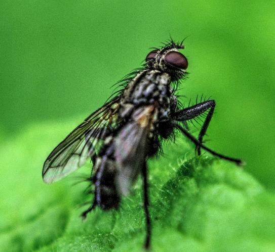 Tachinidae? 110