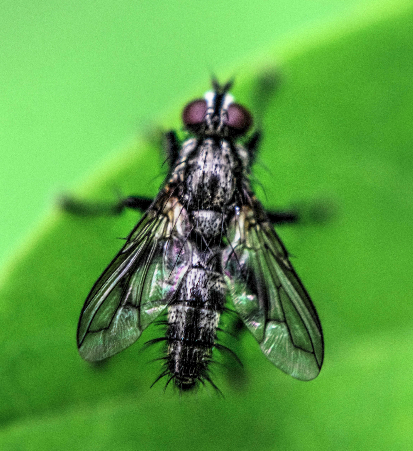Tachinidae? 210