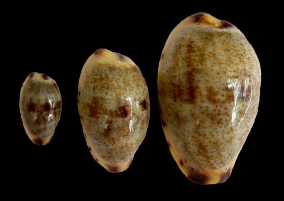 Purpuradusta gracilis notata - (Gill, 1858) Gracil13