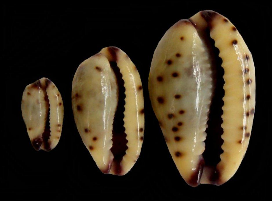Purpuradusta gracilis notata - (Gill, 1858) Gracil14