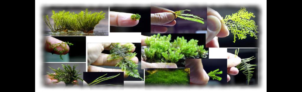 Aquatic mosses and ferns 111