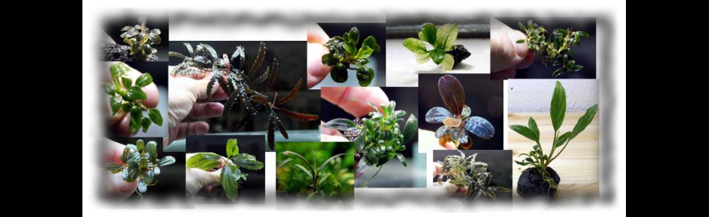 Aquatic mosses and ferns 211