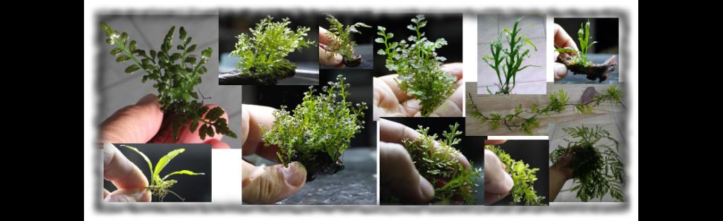 Aquatic mosses and ferns 310