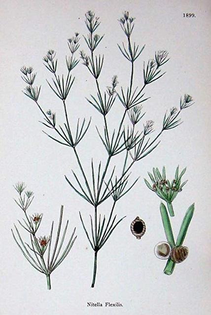 [Fiche-algue] Charophycées ( Nitella Flexilis ) Fiche_10