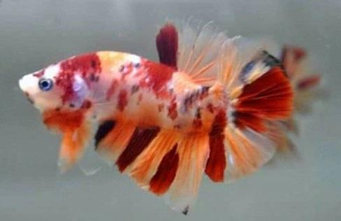 Présentation de mon aquarium 25 litres - Page 2 Koi_be10