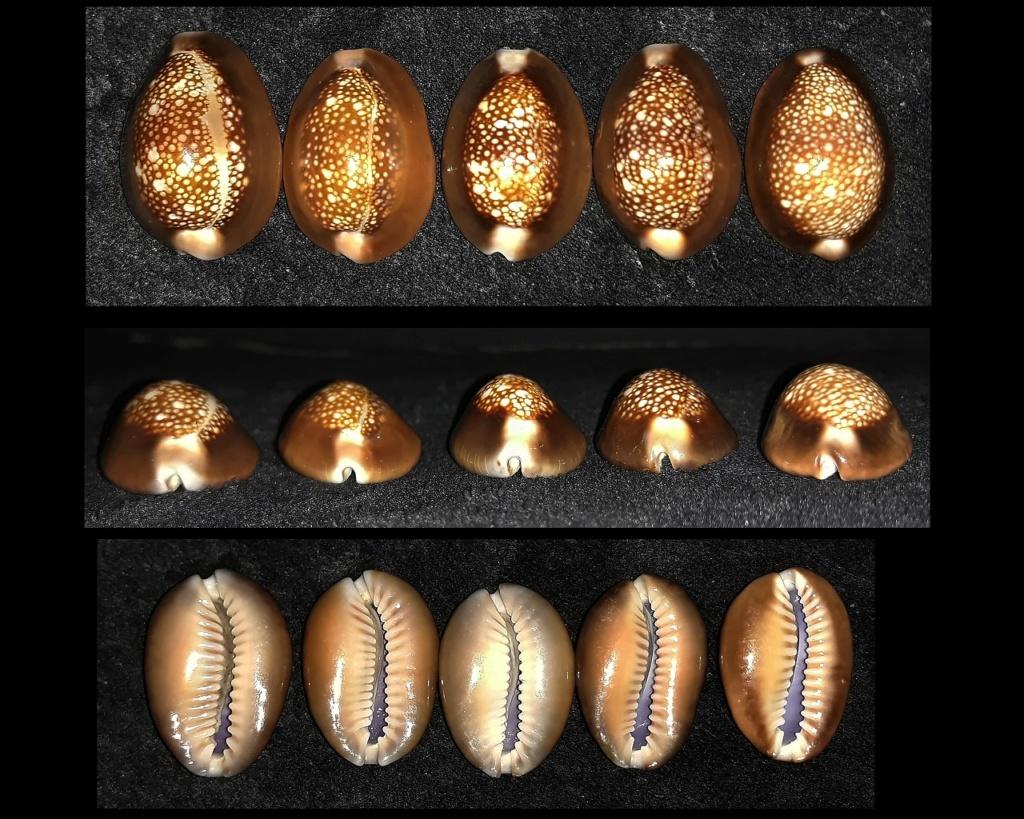 Monetaria caputserpentis caputserpentis - (Linnaeus, 1758) Caput110