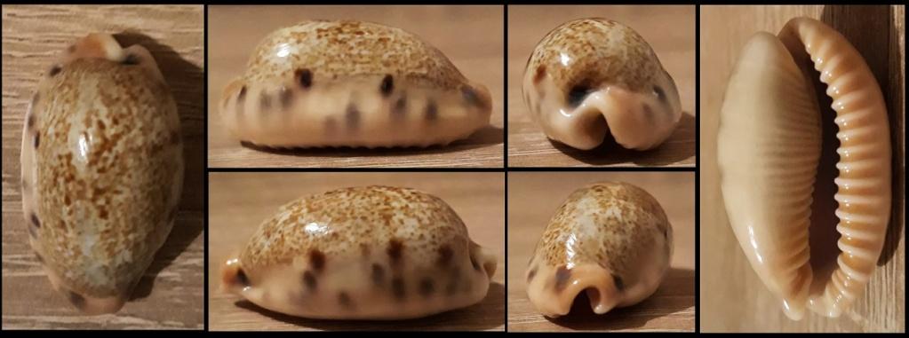 Erronea caurica quinquefasciata (Röding, 1798) Cauric11