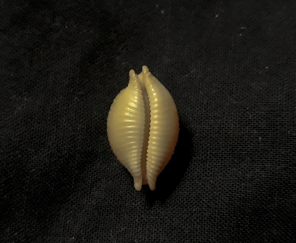 Cleotrivia globosa cf. Cloth110