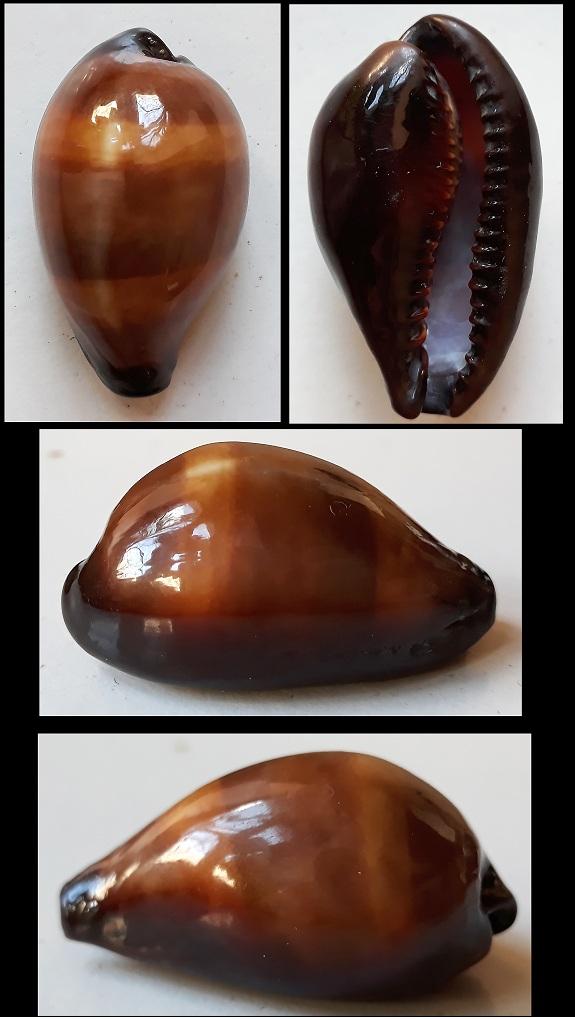 Erronea onyx onyx (Linnaeus, 1758) similaire à E. adusta Errone10