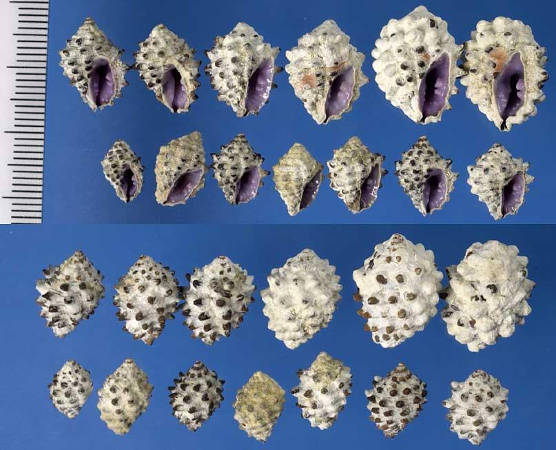 Tenguella granulata - (Duclos, 1832) R0026310