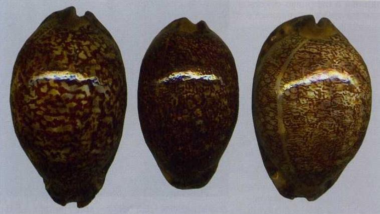 Mauritia arabica immanis f. rudimaculosa - Bozzetti, 2008 Rud10