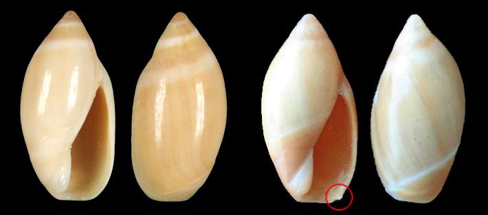 Ancilla lineolata (A. Adams, 1853) Sarda110