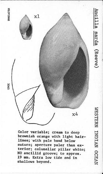 Ancilla lineolata (A. Adams, 1853) Sf336510