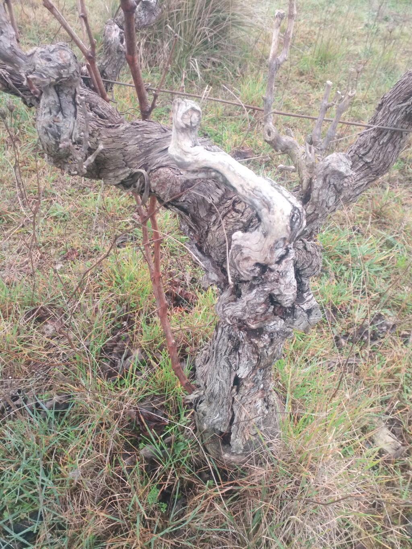 Besoin de conseils sur des vignes non entretenues Img_2010