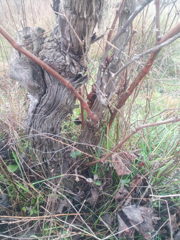 Besoin de conseils sur des vignes non entretenues Img_2012