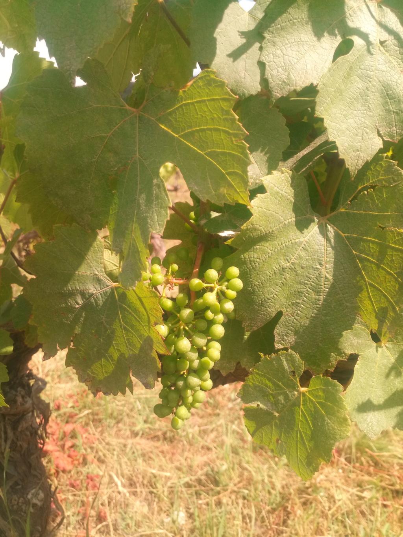 Besoin de conseils sur des vignes non entretenues Img_2019
