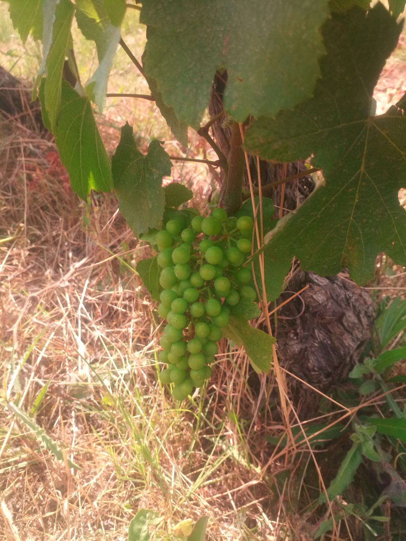 Besoin de conseils sur des vignes non entretenues Img_2020
