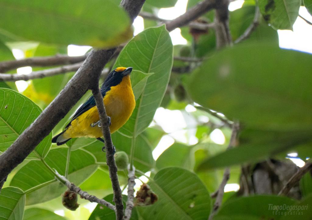 BRASIL | Aves de Piracicaba  2020-010