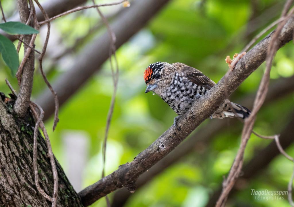BRASIL | Aves de Piracicaba  2020-011